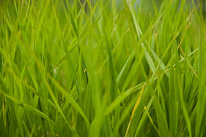 Tall Green Grass