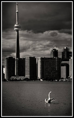 Toronto Swan