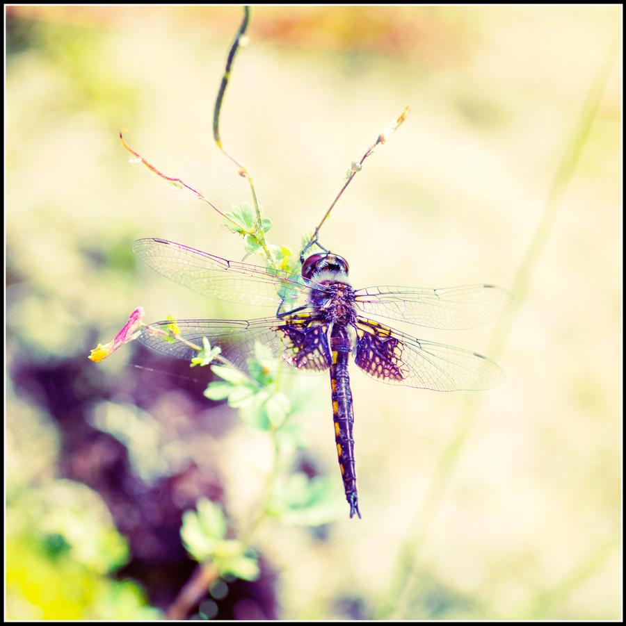Dragonfly by xedgerx