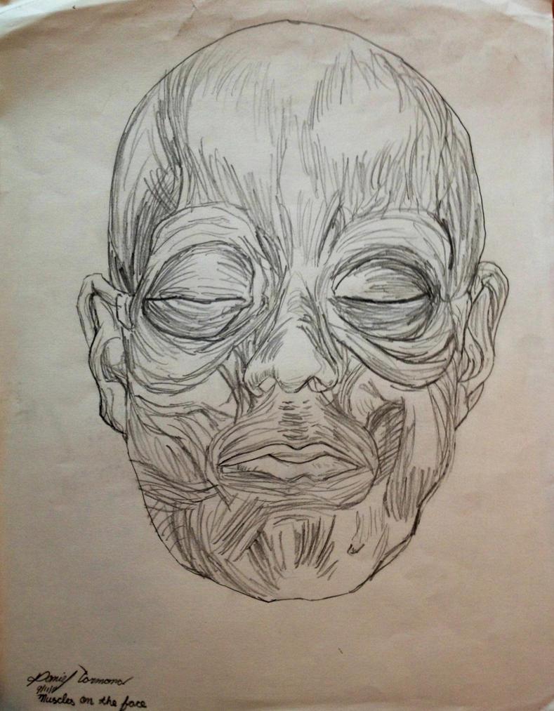 muscular system face by gokujr96 on DeviantArt