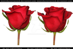 Red Rose cut out stock 1