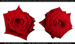 Red Rose cut out stock 3