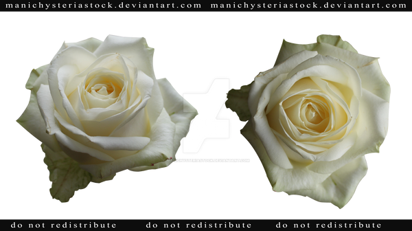 White Rose Png White Rose Cut Out by