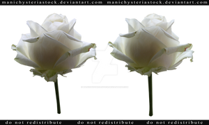 White Rose Cut Out 3