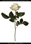 White Rose Long Stem Cut Out