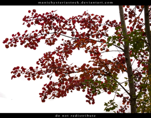 Aspen Autumn Foliage Cut Out