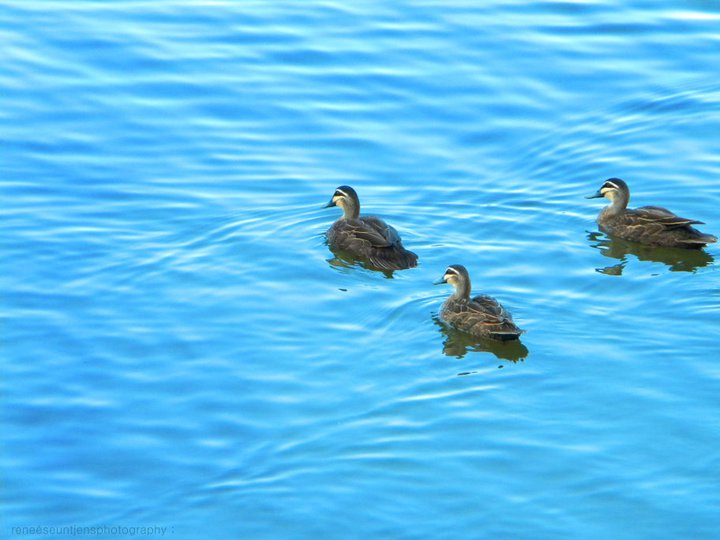 duckss. by Weanie