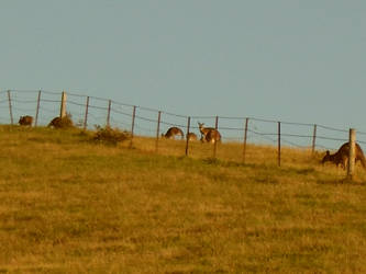 Kangaroos' Loose In The Top Paddock. by verdenpark