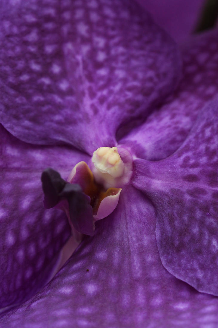 Purple orchid by kikielzinga