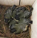 Baby birds by kikielzinga
