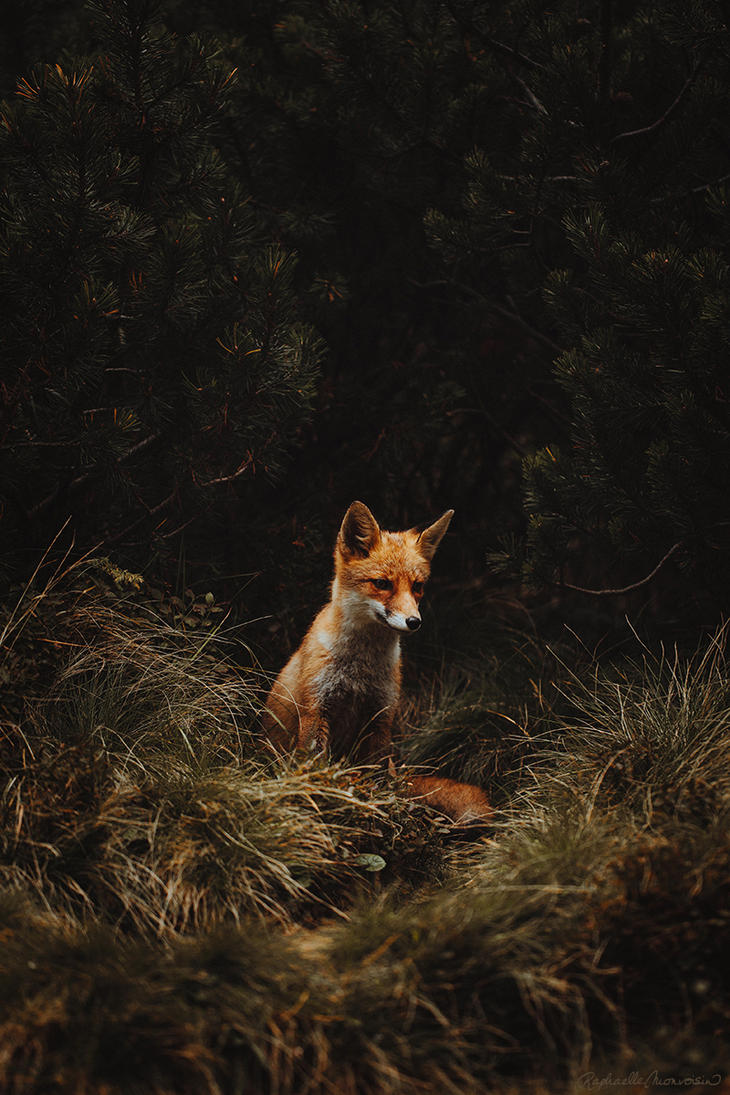 The Red Fox by RaphaelleM
