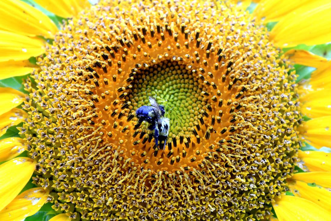 Sunshine Bee
