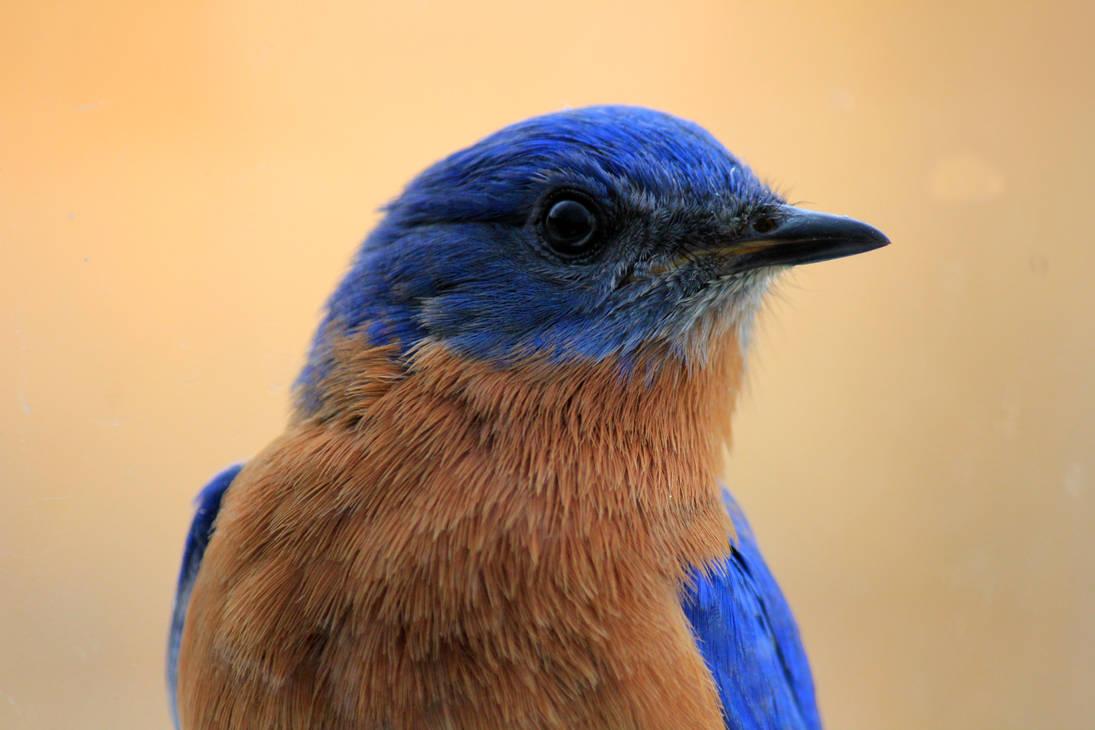 Peeping Blue