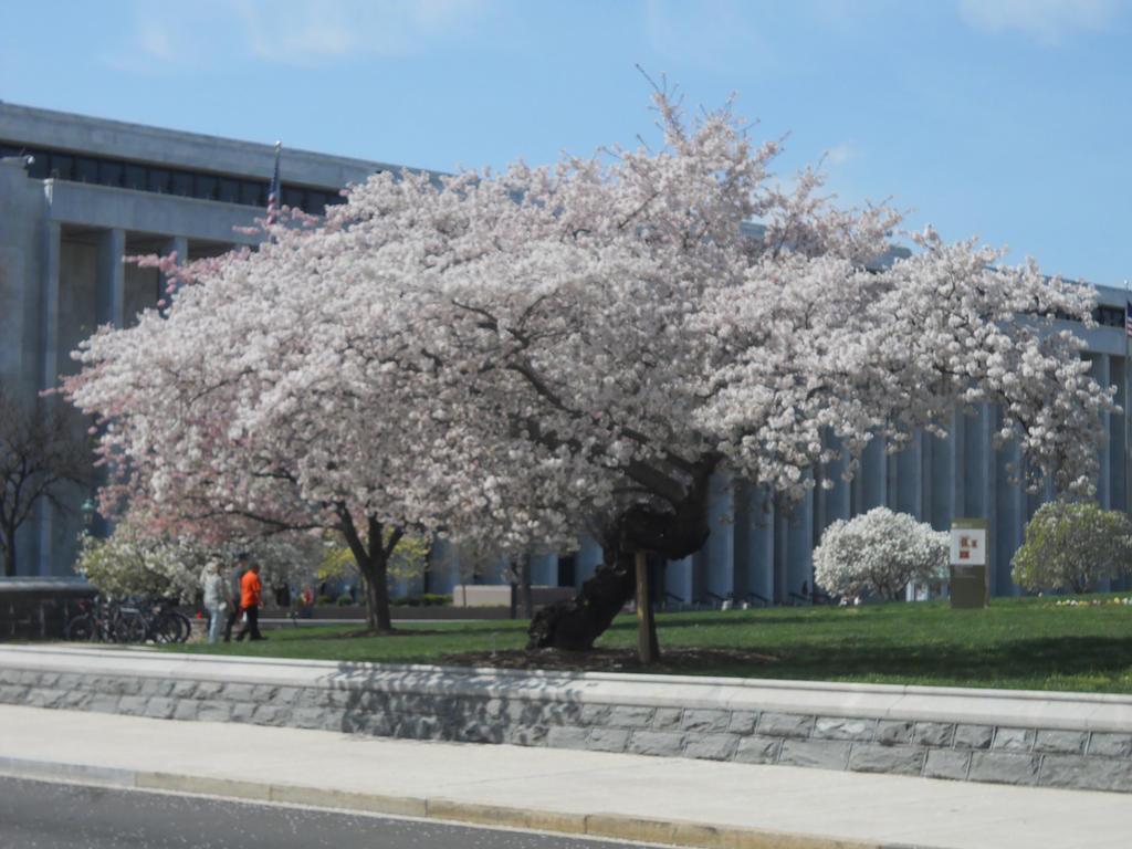 Flowering Cherry Tree Dc By Chlodulfa