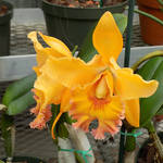 Orchid in the Hillwood Greenhouse