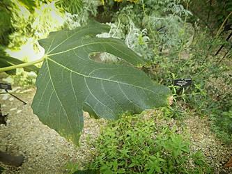 Vignetted Fig Leaf by Chlodulfa