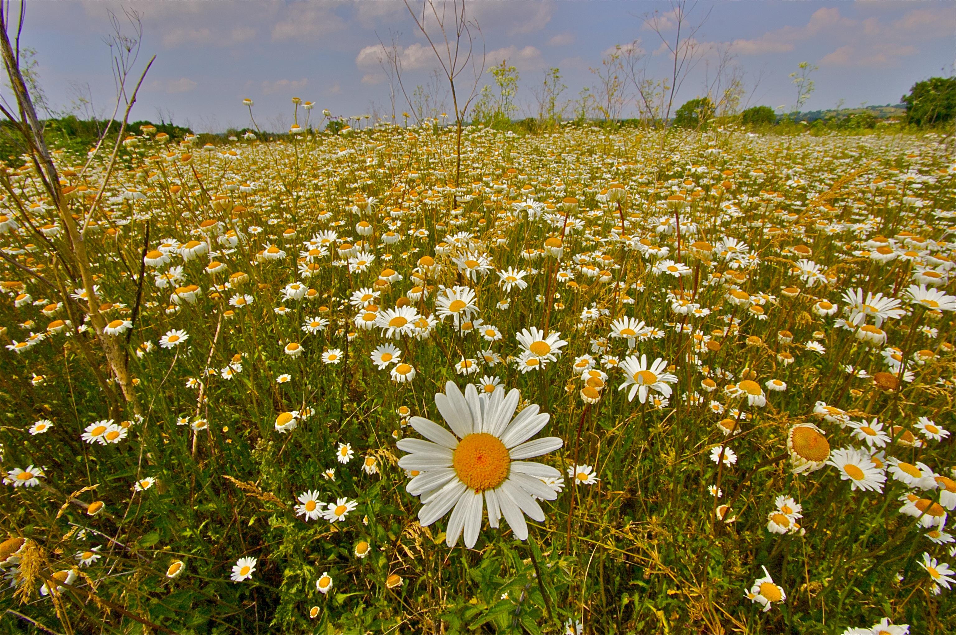 daisy meadow by stuartreading