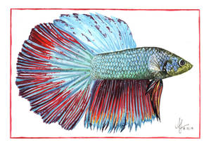 Betta Fish Anka by aryalynx