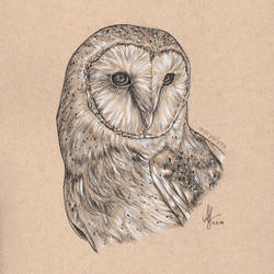 Barn Owl Drawing Rico