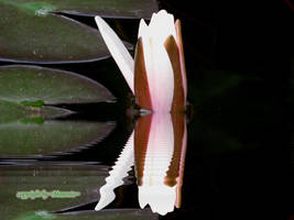 Water Lilly by LexartPhotos