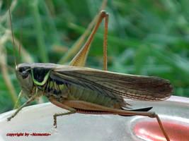 grasshopper by LexartPhotos