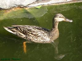 Duck 1 by LexartPhotos
