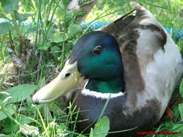 Duck 3 by LexartPhotos