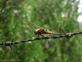 Dragonfly II by LexartPhotos