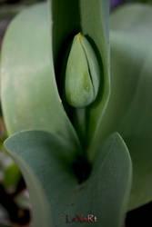 tulip one by LexartPhotos