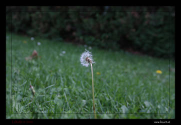 dandelion II by LexartPhotos