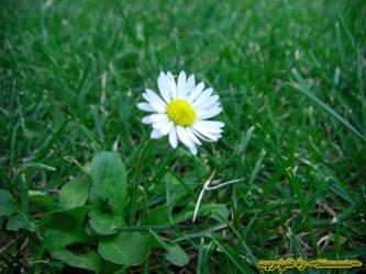 Gaensebluemchen 'daisy' by LexartPhotos