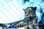 Jaugar by prancingdeer722