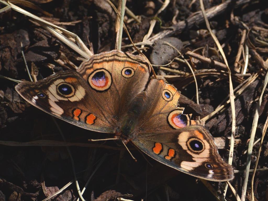 Buckeye Butterfly by prancingdeer722