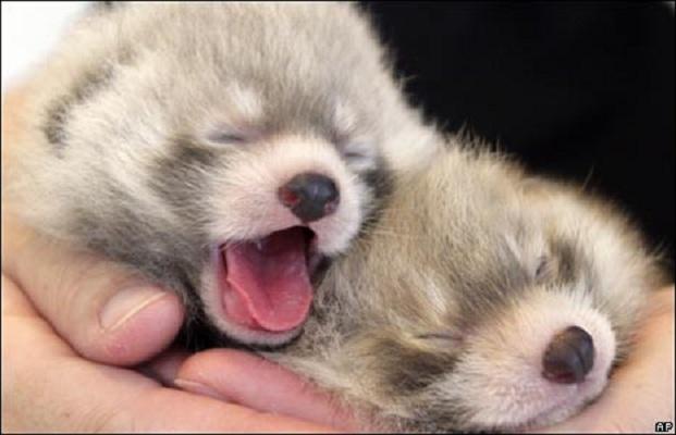 Red Panda babys by onemanwolfpack123