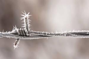 Frosty Barb by SonjaPhotography