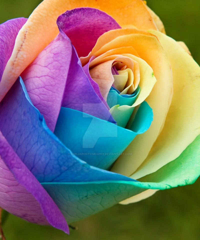 Rainbow rose by sonjaphotography on deviantart for What are rainbow roses