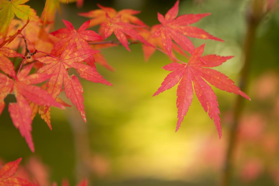 Japanese Maple Leaf By Sonjaphotography On Deviantart