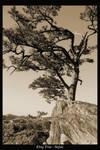 King Tree - Sepia