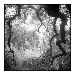 2015-005 Angel Oak - elfwood by pearwood