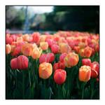 2015-133 Highland Park - tulip bed