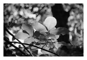 2015-281 Leaves in the sun by pearwood