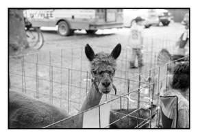 2018-178 Humphrey the hump-free alpaca