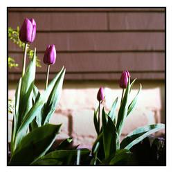 2020-131 Milady's tulips