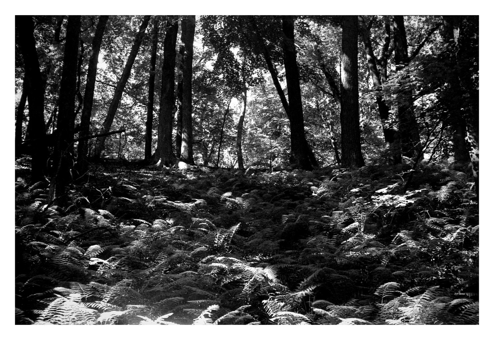 2020-194 Forest ferns