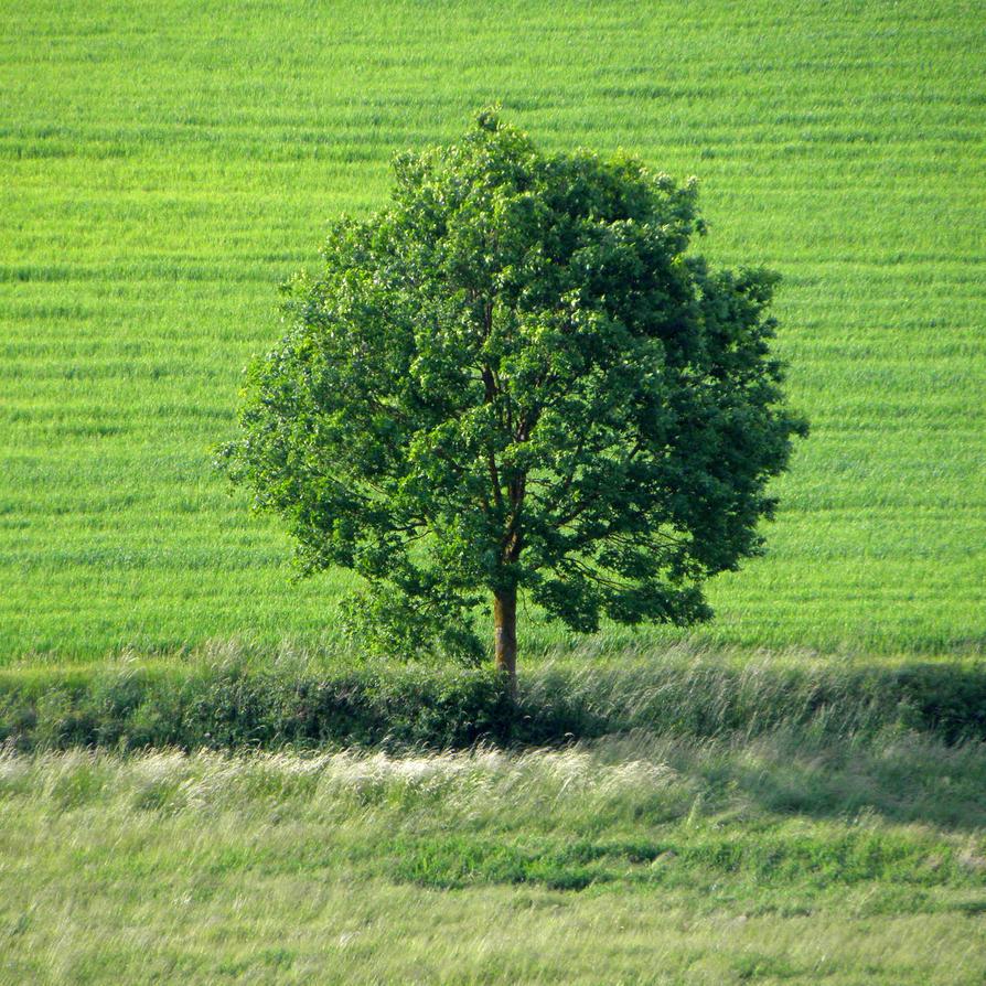 solitary tree by Mittelfranke