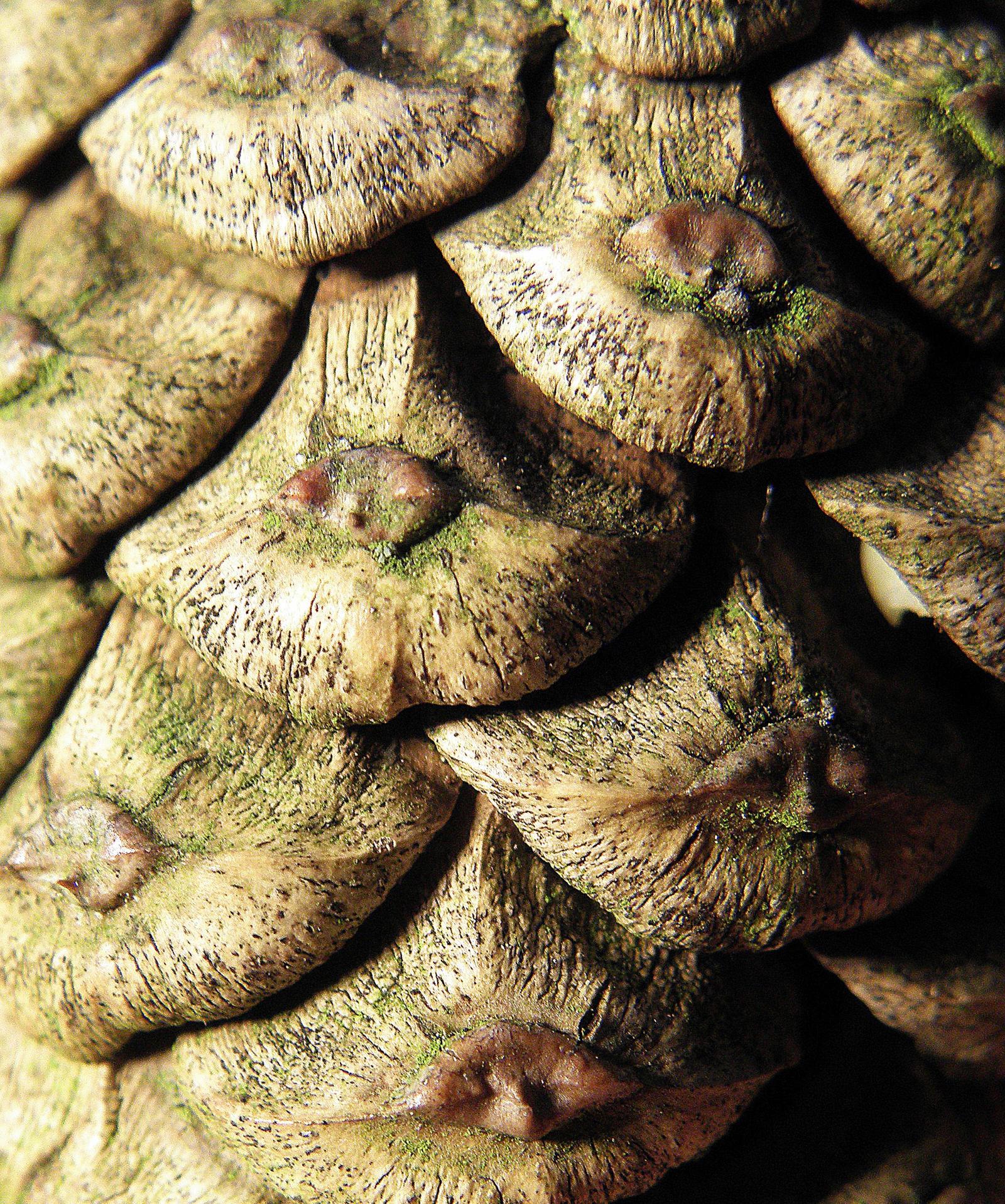 fir cone by Mittelfranke