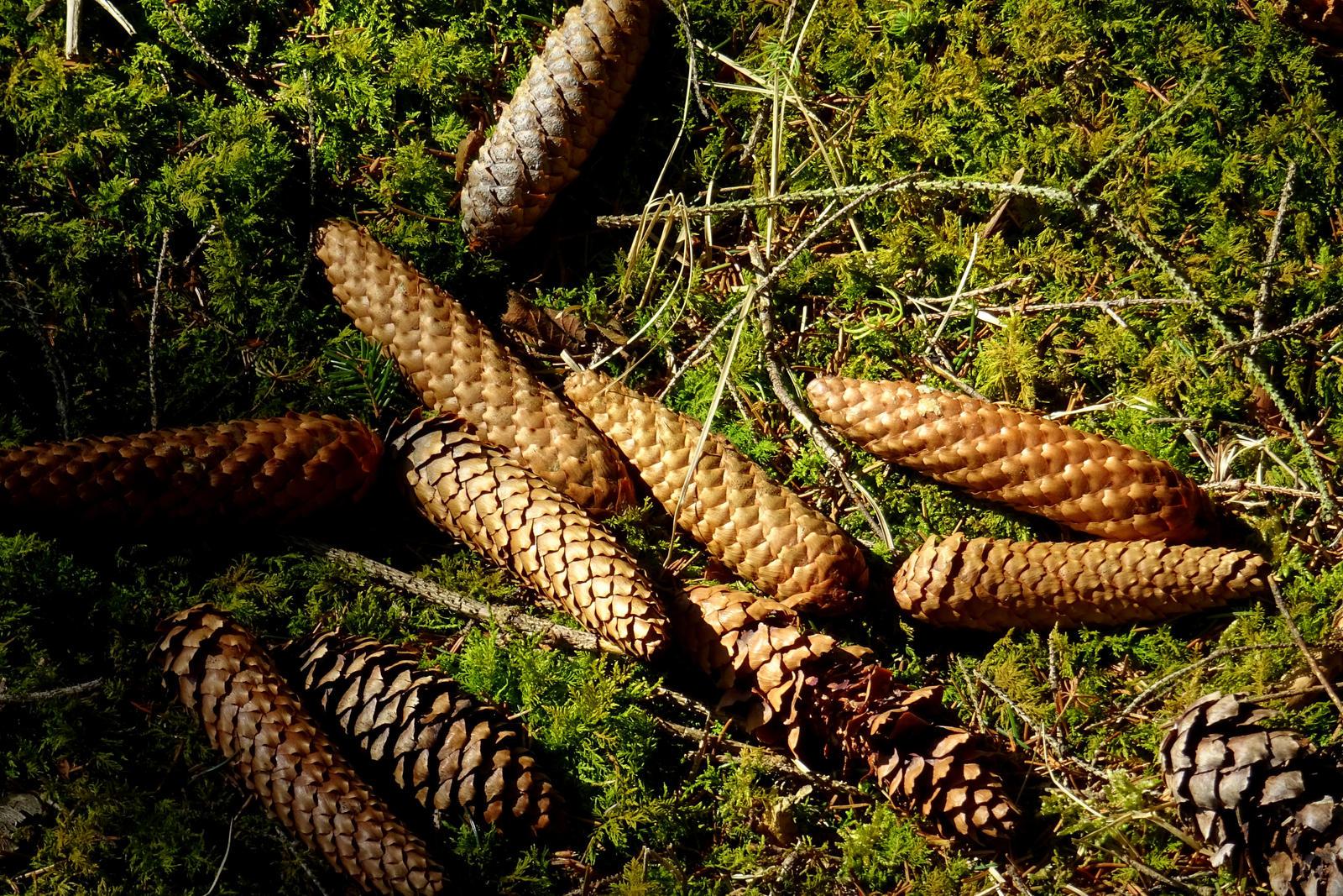 fircones by Mittelfranke
