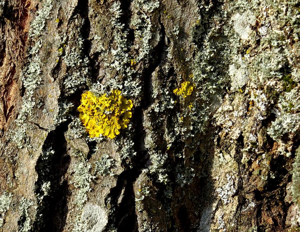 bark and lichen by Mittelfranke