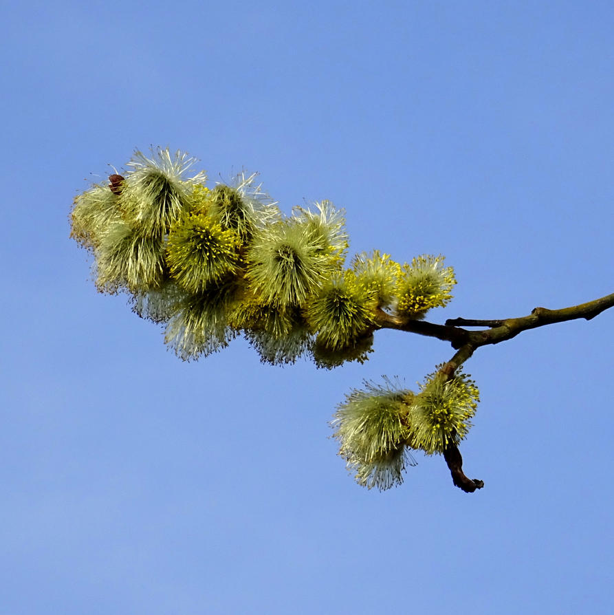 pussy willow by Mittelfranke