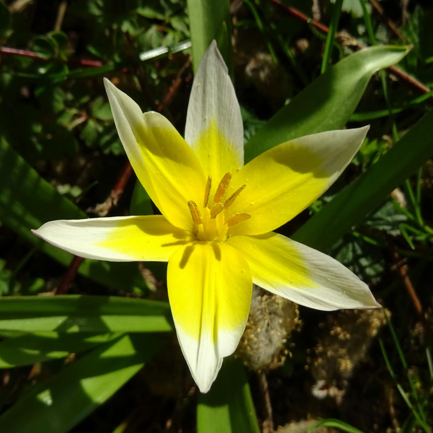 tulip by Mittelfranke